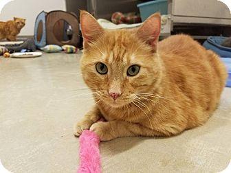 Domestic Shorthair Cat for adoption in Chicago, Illinois - Colonel Flagg