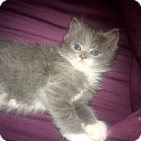Adopt A Pet :: Baby Rufus - Southington, CT