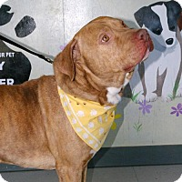 American Pit Bull Terrier Mix Dog for adoption in Erwin, Tennessee - Brutus