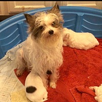 Shih Tzu/Chihuahua Mix Dog for adoption in Flower Mound, Texas - Pepper