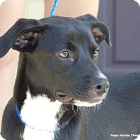 Adopt A Pet :: Lincoln - Knoxville, TN