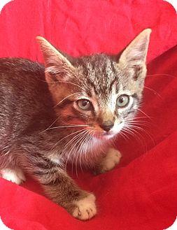 Domestic Shorthair Kitten for adoption in pasadena, California - BEN