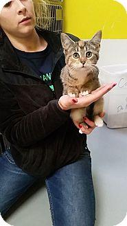 Domestic Shorthair Kitten for adoption in Adrian, Michigan - Callie