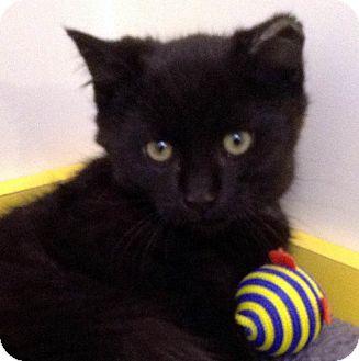 Domestic Shorthair Kitten for adoption in Brimfield, Massachusetts - Sergio