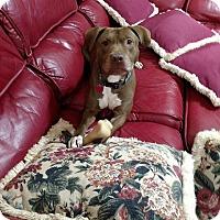 American Pit Bull Terrier/Labrador Retriever Mix Dog for adoption in Alpharetta, Georgia - Brownie