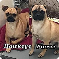 Adopt A Pet :: Hawkeye & Pierce - Austin, TX