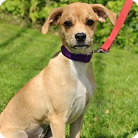Pug/Italian Greyhound Mix Puppy for adoption in Chester Springs, Pennsylvania - Peppy