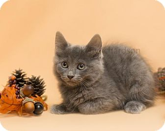 Russian Blue Kitten for adoption in Oviedo, Florida - Toulouse - Russian Blue Mix