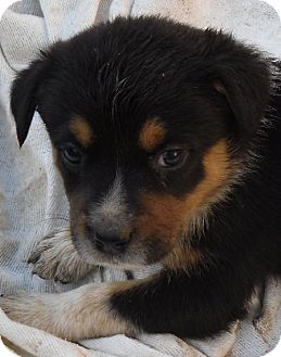Australian Cattle Dog Mix Puppy for adoption in Guthrie, Oklahoma - Gabby