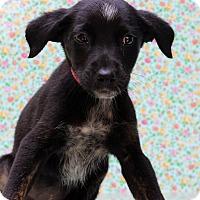 Adopt A Pet :: Buffy - Waldorf, MD