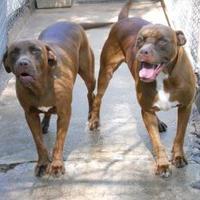 American Pit Bull Terrier Mix Dog for adoption in Wichita, Kansas - trooper