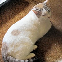 Adopt A Pet :: Tilly - Norristown, PA
