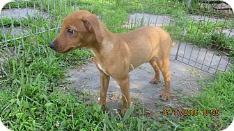 Terrier (Unknown Type, Medium)/Poodle (Miniature) Mix Puppy for adoption in West Warwick, Rhode Island - Harjo