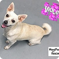 Adopt A Pet :: Violet---COURTESY LISTING - Fort Worth, TX