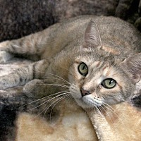 Adopt A Pet :: Kelsey - St Louis, MO