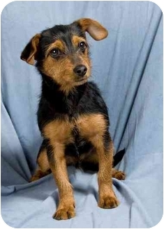 Terrier (Unknown Type, Small)/Chihuahua Mix Puppy for adoption in Anna, Illinois - BUDDY