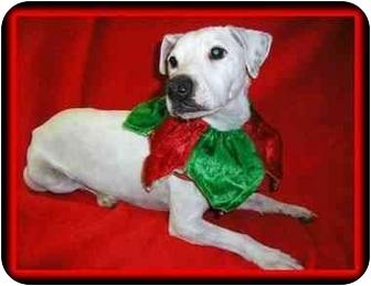 Jack Russell Terrier Dog for adoption in Omaha, Nebraska - Chico