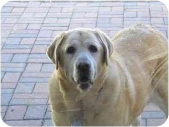 Labrador Retriever Dog for adoption in San Diego, California - BLONDIE