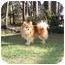 Photo 2 - Pomeranian Dog for adoption in Roebuck, South Carolina - Ben adopted