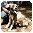 Photo 1 - American Bulldog Mix Dog for adoption in Cleveland, Georgia - Chaps