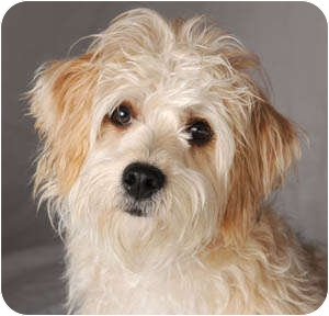Wheaten Terrier/Poodle (Miniature) Mix Dog for adoption in Chicago, Illinois - Wheatie