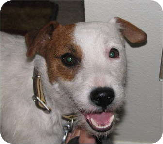 Jack Russell Terrier Dog for adoption in Scottsdale, Arizona - BAILEY