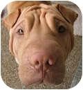 Shar Pei Dog for adoption in Gainesville, Florida - Sam