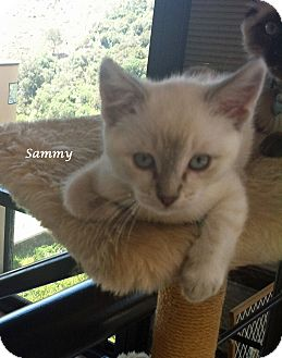 Siamese Kitten for adoption in Mandeville Canyon, California - Sammy