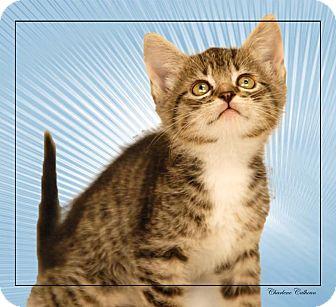 Domestic Shorthair Kitten for adoption in Newland, North Carolina - Tony