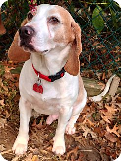 Beagle Dog for adoption in Wilmington, Delaware - Champ