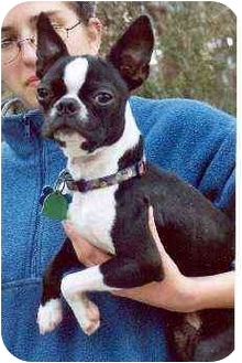 Boston Terrier Dog for adoption in Clementon, New Jersey - Shrimpy
