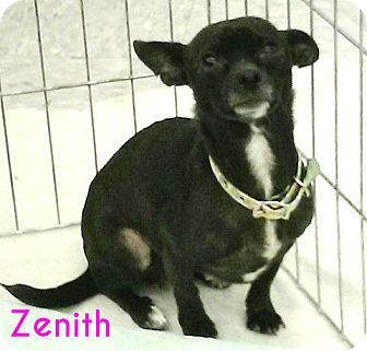 Chihuahua Mix Dog for adoption in House Springs, Missouri - Zenith