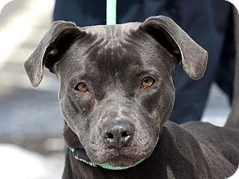 Weimaraner/American Pit Bull Terrier Mix Dog for adoption in New Haven, Connecticut - JAMMY