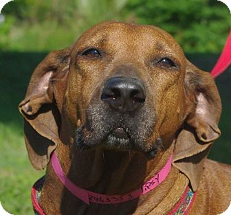 Retriever (Unknown Type) Mix Dog for adoption in Daytona Beach, Florida - Tipsy