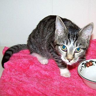 Domestic Shorthair Cat for adoption in Framingham, Massachusetts - Ariel