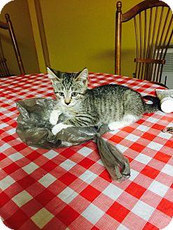 Domestic Shorthair Kitten for adoption in Turnersville, New Jersey - Bamm-Bamm
