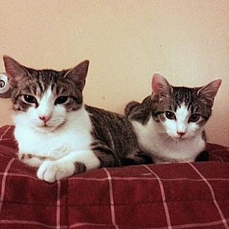 Domestic Shorthair Cat for adoption in New York, New York - Blueberry