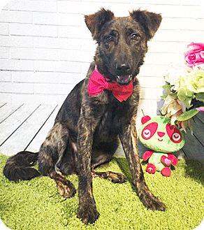 Labrador Retriever/Collie Mix Dog for adoption in Castro Valley, California - Ally