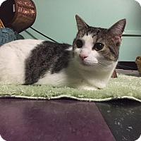 Adopt A Pet :: Violet Gray - Livonia, MI