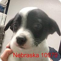 Adopt A Pet :: Nebraska - Greencastle, NC