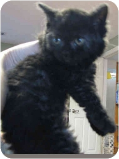 Selkirk Rex Kitten for adoption in Davis, California - Salem