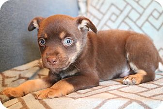 Miniature Pinscher/Chihuahua Mix Puppy for adoption in Bedminster, New Jersey - Benny