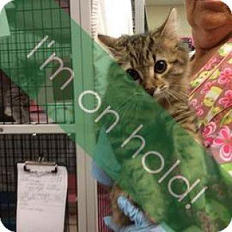 Domestic Mediumhair Cat for adoption in Janesville, Wisconsin - Kalahari