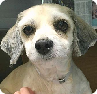 Lhasa Apso/Shih Tzu Mix Dog for adoption in Boulder, Colorado - Brooke-ADOPTION PENDING