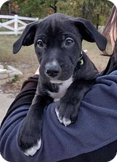 Labrador Retriever/Staffordshire Bull Terrier Mix Dog for adoption in Flower Mound, Texas - Jess