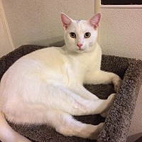 Domestic Shorthair Cat for adoption in Broadway, New Jersey - Ottawa