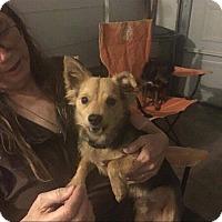 Adopt A Pet :: Zeppelin - Millersville, MD