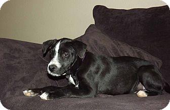 Terrier (Unknown Type, Medium)/Labrador Retriever Mix Puppy for adoption in Phoenix, Arizona - Alvin