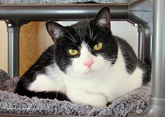 Domestic Shorthair Cat for adoption in Hartville, Wyoming - Shaggy