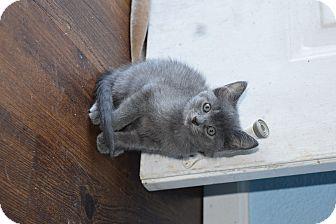 Russian Blue Kitten for adoption in Salisbury, North Carolina - Baby Blue